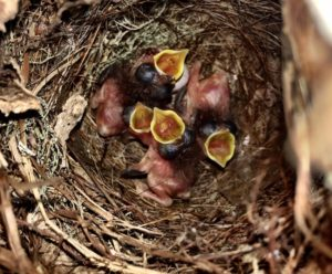 Baby finches3